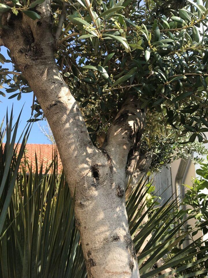 Olivenbaum Hochstamm Olea Europea 2 5m