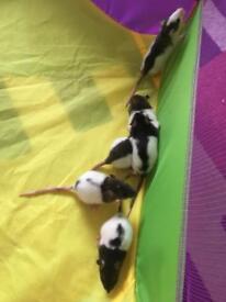 6 female baby rats