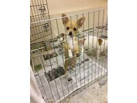 2 gorgeous jack russell x chihuahua