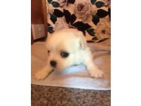 Beautiful Chihuahua X shih tzu puppies