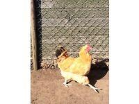 Buff Orpington Cockbird