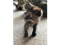 Kitten for sale. £250.