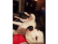 one year old American bulldog