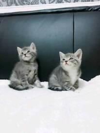 Blue kittens