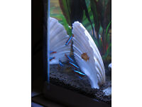 Silver tipped, neon and cardinal Tetra available