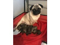 KC registered fawn pug Puppies