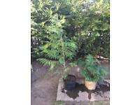 Two conifers one small approx 2 and half feet one large approx 4 half feet £8