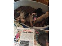 German Shepard X mastiff 7 boys 2 girls born 13th June ready to go 1-8 August.