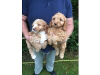 4 cocker poo puppies for sale