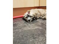 Cavachon puppy fir sale
