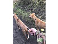 Lurchers needing forever home