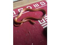 Corn Snake with full set up