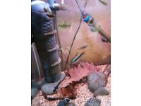TROPICAL FISH; tetras & pencilfish FOR SALE