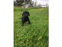 Labrador / cocker spaniel pups!