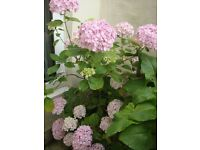 HYDRANGEA PLANT - Giant Mop Head. Large established plant in pot, ready to plant in garden