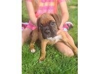 Pedigree Boxer Pups For Sale