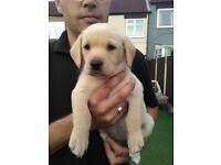 KC Golden/Red Labrador Pups For Sale