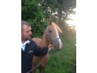 13.2hh Unbroken project/lightly backed