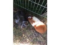 2 boys guinea pig