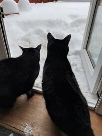 2 black female house cats