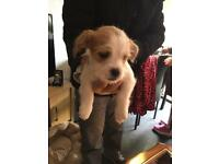 1 Male puppy for s