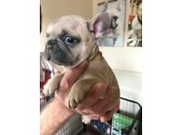 French Bulldog Puppies ready to go