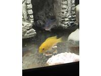 African/Malawi cichlid juvenile fish tropical fish