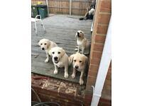 Adorable Labrador Pups Only 4 Left Quick Sale
