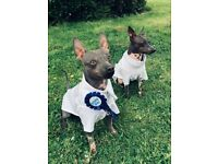 American Hairless Terrier Puppies