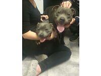Blue kc registered staff puppies