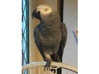 African grey parrot with large cage