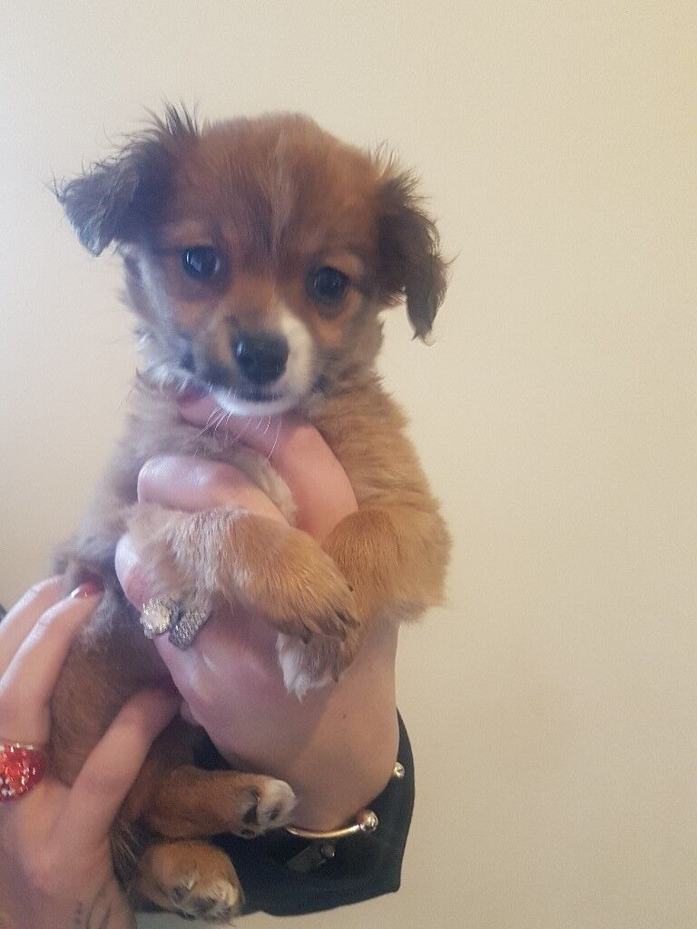 Small Mixed Chihuahua Cross Yorkie For Sale In South East London