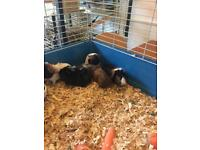 Six baby guinea pigThese guinea pigs are girls