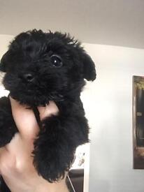 Glen of Imaal x Toy Poodle only x3 bitches left