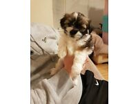 2 x Female Lhasa Apso Puppies For Sale