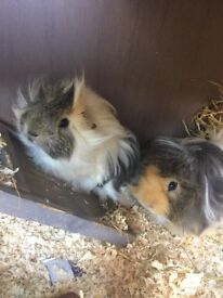 2 baby male guinea pigs with all the kit