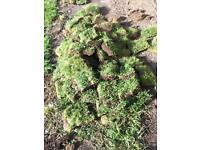 Turf /grass(free!!!!)