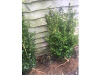 Box hedge shrubs