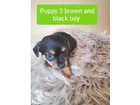 Puppies chi-poo & jack-chi X