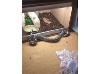 3ft Female Mojave Ball Python Snake with fully set up Vivarium