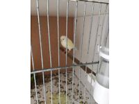 Female canary for sale, £25