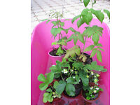 Potted strawberry and raspberry plants