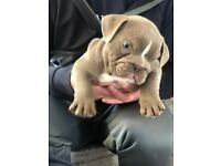 Full suit Lilac tri British bulldog Male available!!!