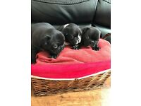 Full Pedigree French Bulldog Puppies