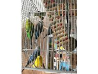 6 budgies with big cage for sale