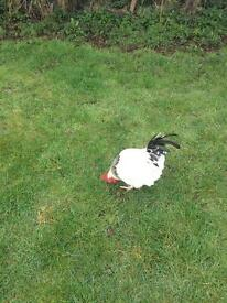 Sussex roosters for sale
