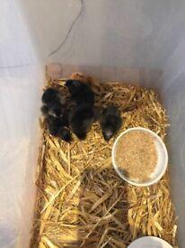 Week old chicks