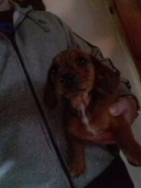 Male miniature smooth coat dachshund puppy