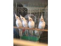 Cockatel for sale