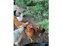 Organic Chickens for Sale - Only £15 each - (eggs Daily!)